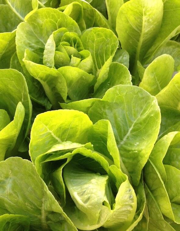 Fisheads-Aquaponic-Bibb-Lettuce