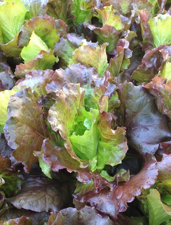 Cherokee Summer Crisp Lettuce