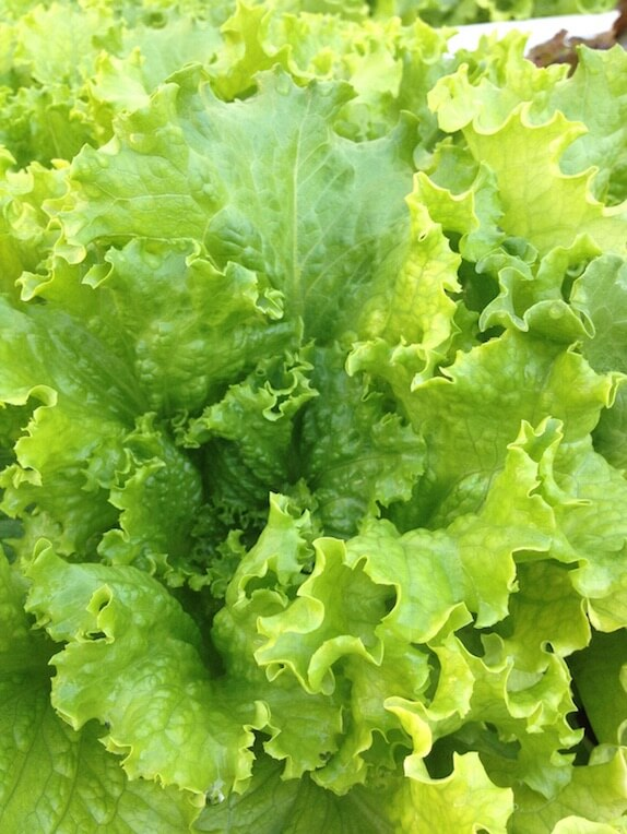 Fisheads-Aquaponic-Green-Leaf-Lettuce